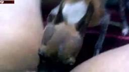 Небольшая собачонка старательно вылизывает пиздищу созрелой толстушке зоопорно оральное